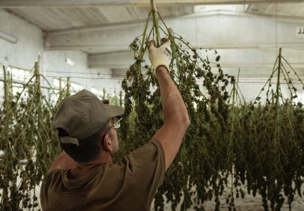 Worker hanging cannabis on wires to dry via conventional drying methods