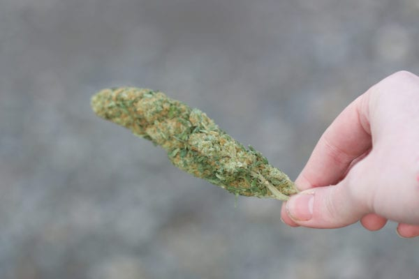 dried cannabis bud highlighting new methods of drying and curing cannabis